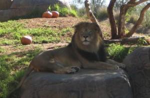 safarilion