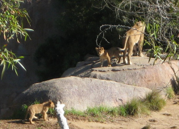 safarilioncubs
